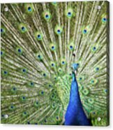 Flamboyance Acrylic Print by Mike Matthews Photography