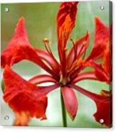 Flamboyant Beauty Acrylic Print
