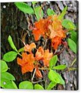 Flame Azaleas Acrylic Print