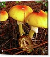 Flame Pluteus Mushroom  Acrylic Print