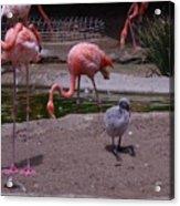 Flamgos 3 San Diego Zoo Acrylic Print