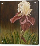 Flaming Bearded Iris Acrylic Print