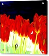 Flaming Red Tulips Acrylic Print