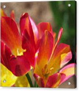 Flaming Tulips Acrylic Print