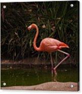 Flamingo 1 San Diego Zoo Acrylic Print