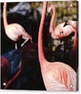 Flamingo 3 Acrylic Print