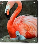 Flamingo And Baby Acrylic Print