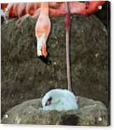 Flamingo And Chick Acrylic Print