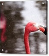 Flamingo And Rain Acrylic Print