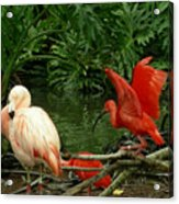Flamingo And Scarlet Ibis Acrylic Print