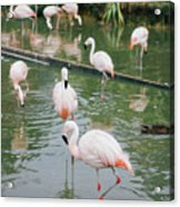 Flamingo Bath  Acrylic Print
