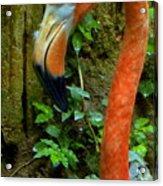 Flamingo Close Up Profile Acrylic Print