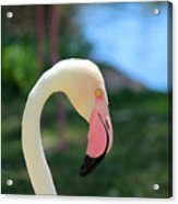 Flamingo Closeup Acrylic Print