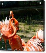 Flamingo Colony Acrylic Print