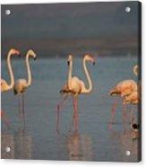 Flamingo During Sunset Acrylic Print