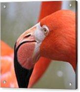 Flamingo Folly Acrylic Print