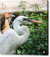 Flamingo Gardens - Great Egret Profile Acrylic Print