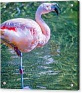 Flamingo In Still Waters Acrylic Print