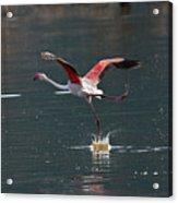 Flamingo Kick Off  Acrylic Print