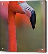 Flamingo Portrait - Sacramento Zoo Acrylic Print