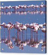 Flamingo Reflection - Lake Nakuru Acrylic Print