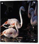 Flamingo Study - 2 Acrylic Print