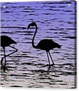 Flamingo Walk - Venezuela Acrylic Print