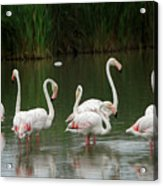 Flamingoes And Their Reflections Acrylic Print