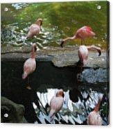 Flamingoes At The Zoo Acrylic Print