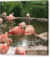 Flamingoes Looking Oh So Pretty  Acrylic Print