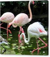 Flamingos 8 Acrylic Print