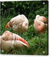 Flamingo's At Rest Acrylic Print