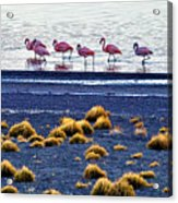 Flamingos At Torres Del Paine Acrylic Print