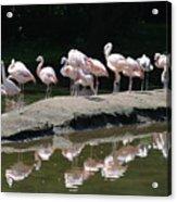 Flamingos With Reflection Acrylic Print