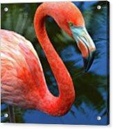 Flamingo Wading In Pond Acrylic Print