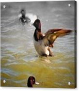 Flapping Lesser Scaup Acrylic Print