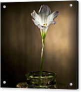 Flashlight Series White Flower 1 Acrylic Print