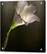 Flashlight Series White Flower 5 Acrylic Print