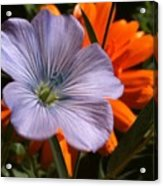 Flax And Aster Acrylic Print