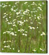 Fleabane In The Meadow Acrylic Print