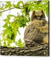 Fledgling Great Horned Owl Acrylic Print