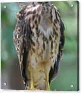 Fledgling Hawk Acrylic Print