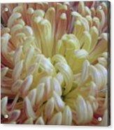 Curled Flower Acrylic Print