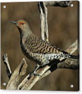 Flicker On Cedar Acrylic Print