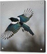 Flight Of A Magpie Acrylic Print