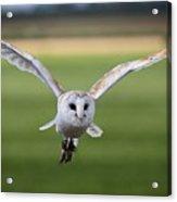Flight Of The Barn Owl Acrylic Print