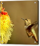 Flight of the Hummer Acrylic Print