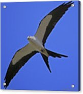 Flight Of The Kite Acrylic Print