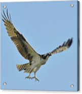 Flight Of The Osprey Acrylic Print
