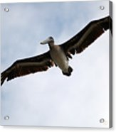 Flight Of The Pelican Acrylic Print